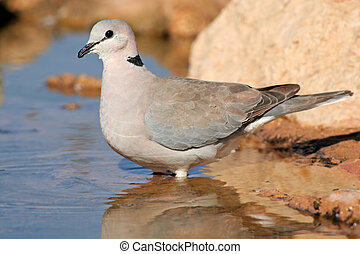 Cape turtle dove (Streptopelia capicola) drinking water,...
