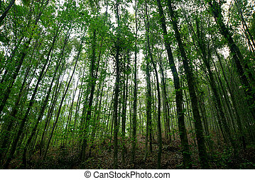 long, thin dense forest of trees - of young trees, forest...