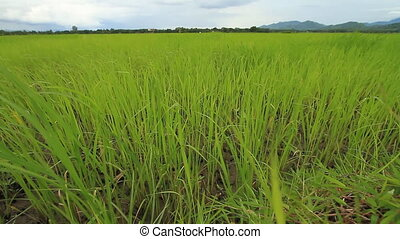 Rice farm in Thailand