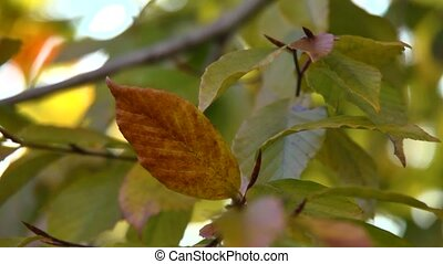 fall leaves - Fall colored tree leaves blowing gently in the...