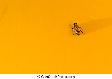 Yellow Jacket - A yellow jacket or honey bee on a yellow...