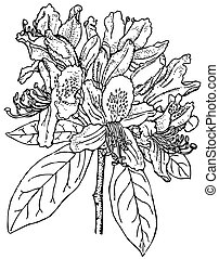 Plant Rhododendron ponticum - Branch of Plant Rhododendron...