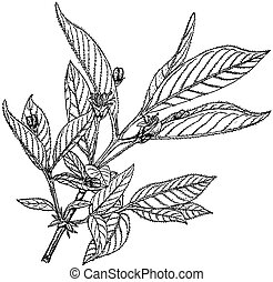 Plant Lonicera involucrata - Branch of Plant Lonicera...