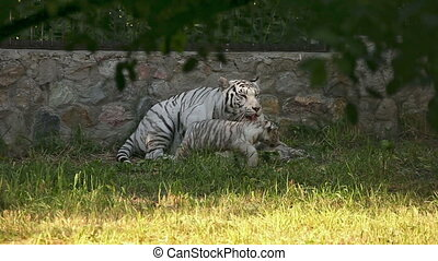 Taking care - White tigress washing up little cub at the zoo