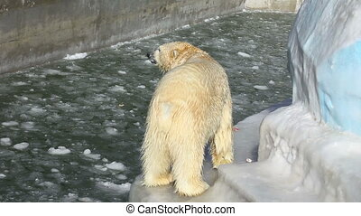 Polar lunchtime. - Polar bear having a meal at the ZOO
