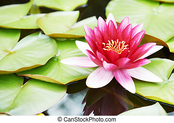 lotus lily flower in water - Pink lotus lily flower in water...