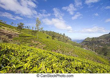 Sri Lanka tea garden mountains in nuwara eliya