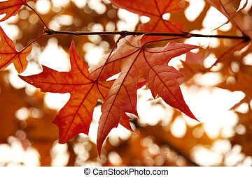 Maple Leaf - It s a close-up version of maple leaf in fall,...