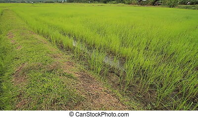Rice farm - Landscape of rice farm in Thailand
