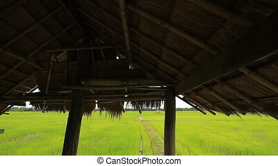 Rice farm - Landscape of rice farm in Thailand : Dolly shot