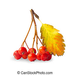 ashberry - Branch of ashberry isolated on white