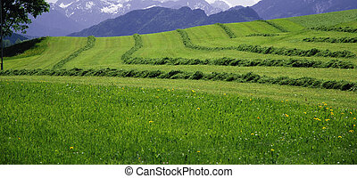 cutted meadow -  cutted meadow in alps