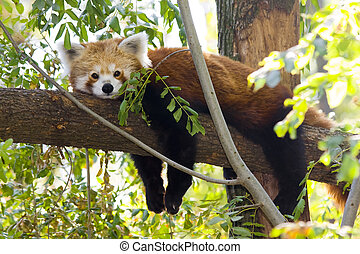 Red panda resting on a tree - Red panda or Lesser panda...