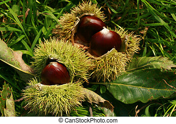 edible chestnuts background