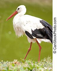 white stork in green field