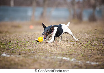 fox terrier dog playing with a toy ball - cute funny fox...
