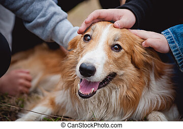 children caress red border collie dog - childrens hands...