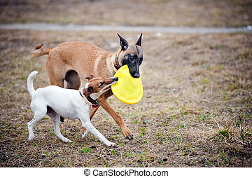Two dogs play with toy together - Two dogs play with toy...