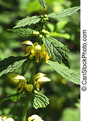 Goldnessel - A spring flower growing in the woods Scientific...