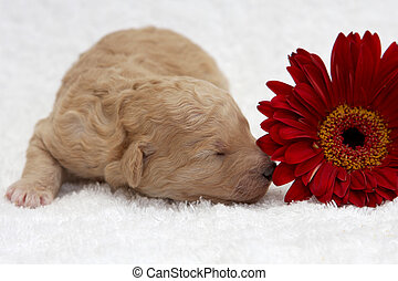 Red Pup - A little puppy sleeping close to a flower