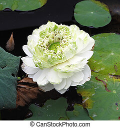 white lotus on lotus pond