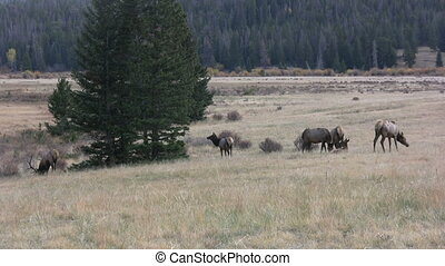 Elk in Rut - a bull elk and his cows in the rut