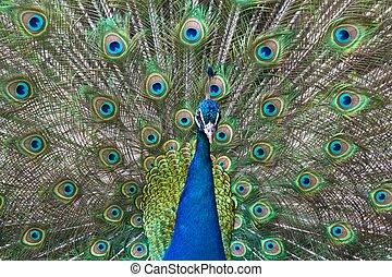 pavão, bragging, seu, coloridos, penas, durante,...