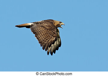 Red-tailed Hawk in Flight against a blue sky background