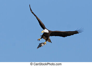 Bald Eagle With Caught Fish - Bald Eagle flying with caught...