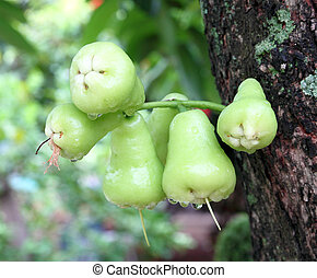 Green rose apple or chomphu on the tree