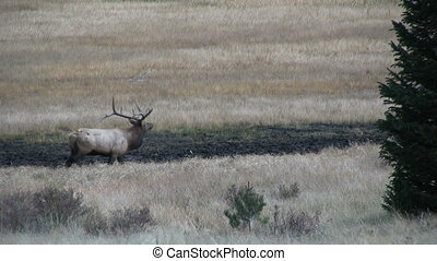 Rutting Elk - rutting behavior displayed by elk in the fall