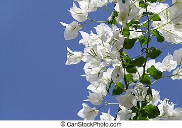 branca, florescer,  Bougainvilleas