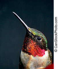 Portrait of a Hummingbird - A beautiful profile of a male...