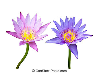pink and blue lotus on white background