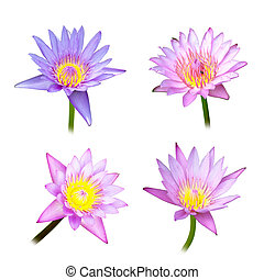 4 lotus on white background