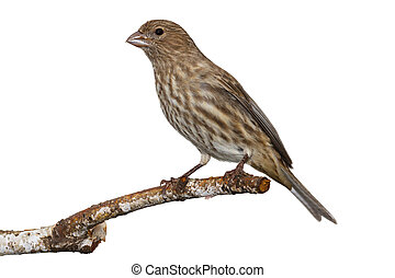 Female House Finch - brown and yellow striped female house...