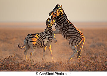 Fighting Zebras - Two Plains Burchells Zebra stallions Equus...