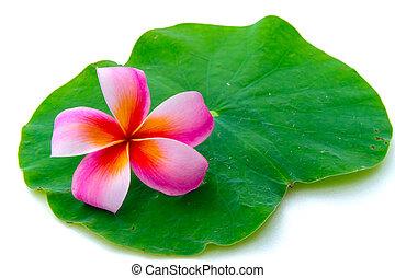 Plumeria flower on lotus leaf