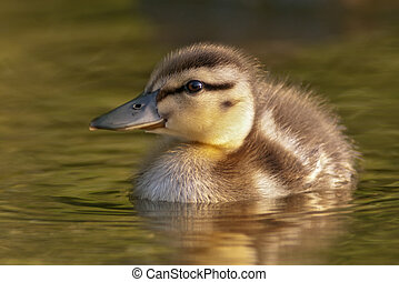 Mallard Duckling close-up in warm light.