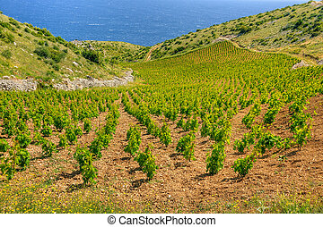 Vineyards, southern coast of Hvar island, west of Sveta...