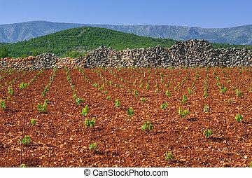 New vineyards, north of Hvar island, Croatia