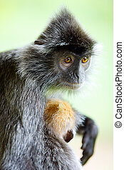 Silver leaf monkey - Portrait of silver leaf monkey with a...