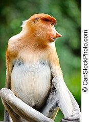 Proboscis monkey - Portrait of proboscis monkey endemic of...