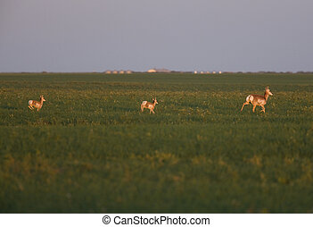 Pronghorn Antelope with two young in Prairie Field