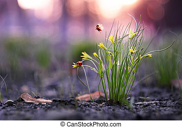 Two little ladybugs take off from the grass bush in the...