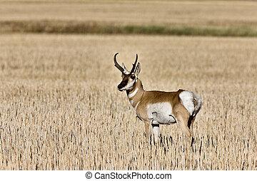 Pronghorn Antelope buck antlers - Pronghorn Antelope prairie...