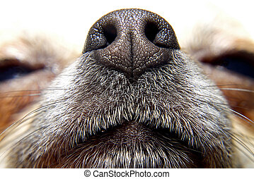 Nose of dog - Nose of chihuahua, my lovely dog