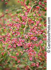 Spindle tree (euonymus europaeus) - Branch of toxic spindle...