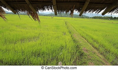 Rice farm - Landscape and climate and rice farm in Thailand...
