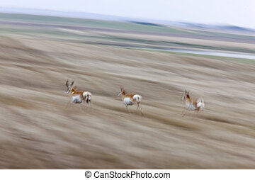 Pronghorn Antelope Running blurred panned Saskatchewan...